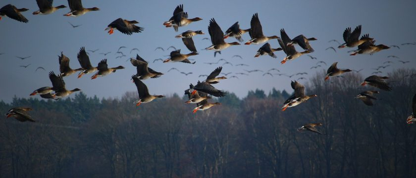 wild-geese-1148899_1920