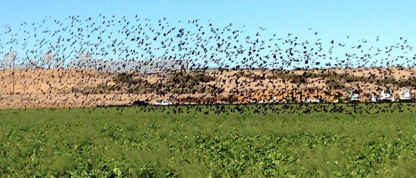 bird-crops