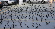 Parking-Lot-Birds