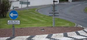 The oystercatcher and the airport Roundabout