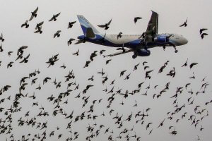 A flock of birds surround a plane on take-off