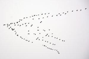 Bird strike flying geese